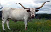 L Brilliant Mary, a registered Texas Longhorn cow
