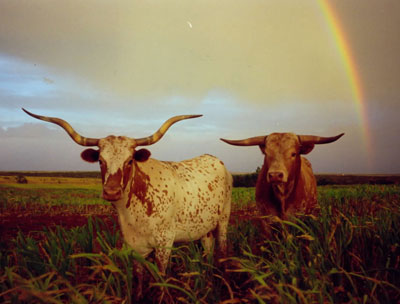Rainbow at the Double Helix Ranch---home of registered Texas Longhorn cattle