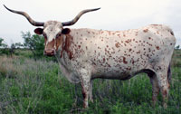 Fairy Tail, a registered Texas Longhorn cow