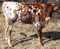 Prairie Dancer's 2013 calf